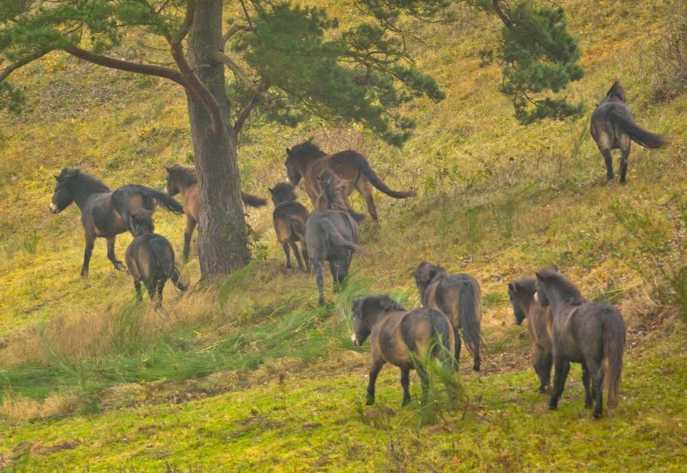Den 26. november 2016 gav man slip på den traditionelle og kontrollerede naturpleje på Molslaboratoriet i Mols Bjerge, hvor der blev udsat vildheste, finansieret af Den Danske Naturfond (foto: Rune Engelbreth Larsen)