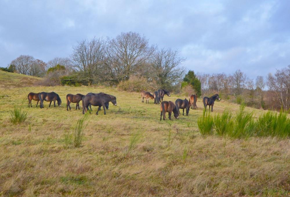 Exmoor ponyer – vildheste på Mols (foto: Rune Engelbreth Larsen)