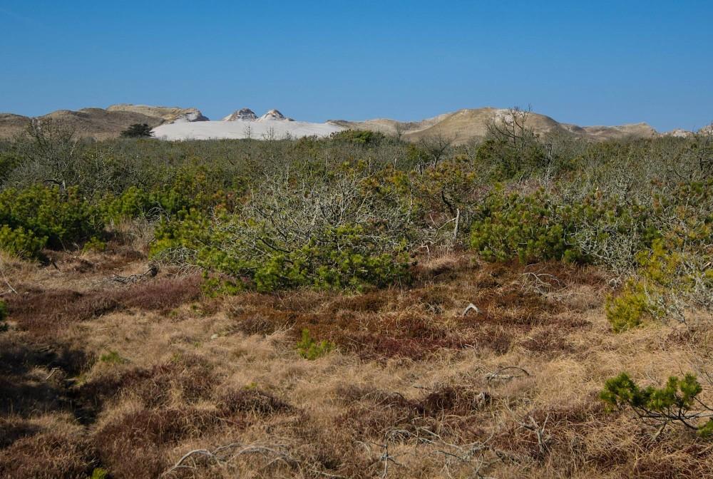 Fyrretræer nærmer sig klitgrænsen (foto: Rune Engelbreth Larsen)