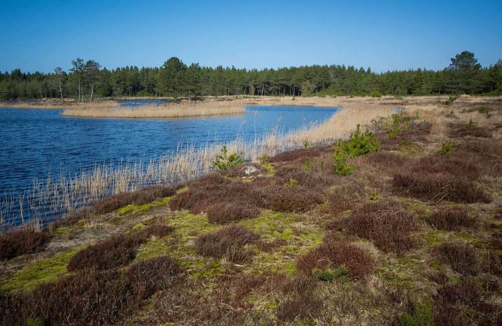 Hareflod Sø, Husby Klitplantage (foto: Rune Engelbreth Larsen)