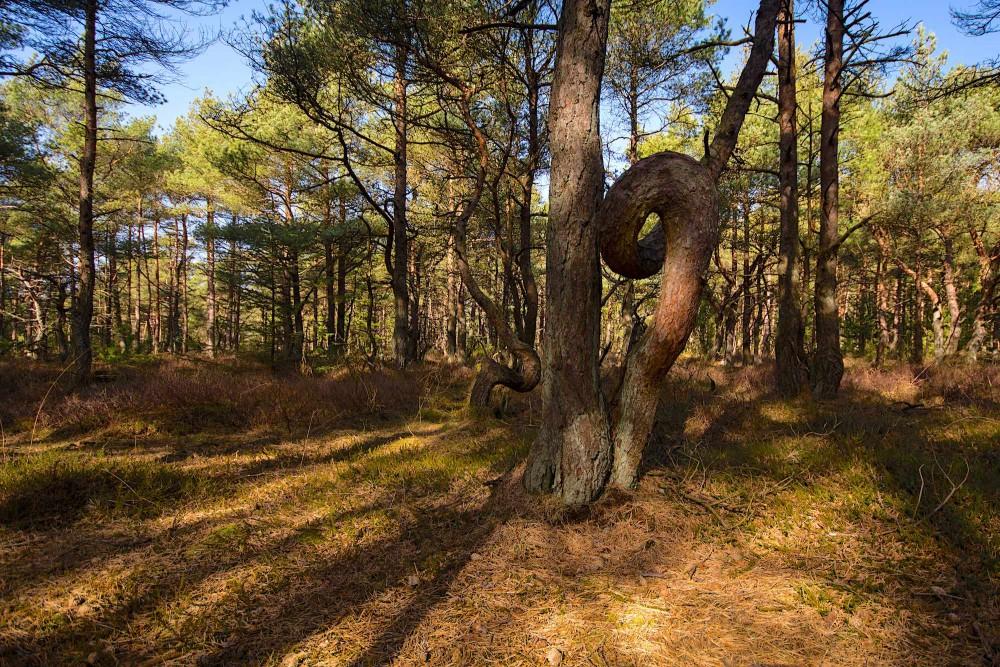 Troldeskoven er et meget lille frimærke i Husby Klitplantage, hvor træerne undslipper motorsavene og får lov til at vokse lige så frit, som naturen byder dem (foto: Rune Engelbreth Larsen)