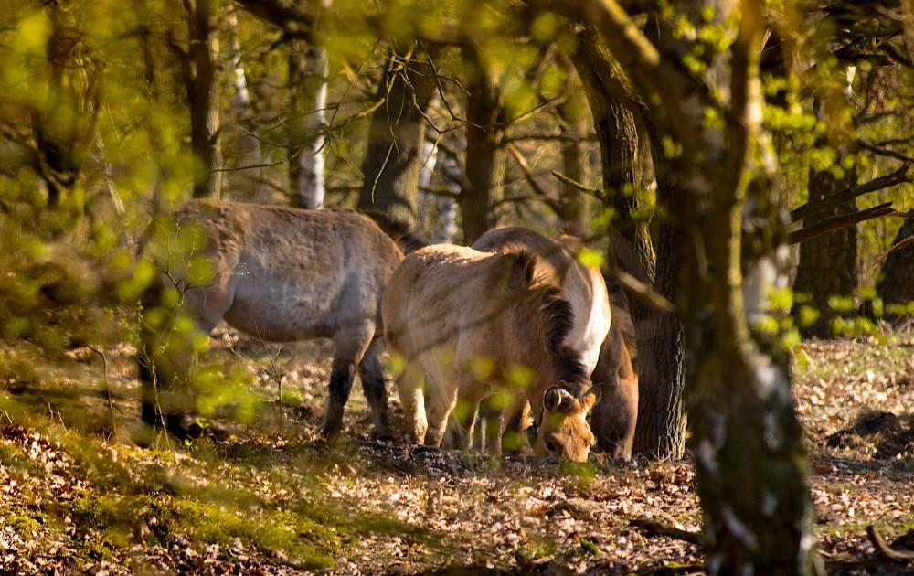 Vi er ikke vant til at se heste i skovene, men vildheste kan sagtens leve frit i naturen, også i skoven – her den sjældne takhi, også kaldt przewalski-hesten, i et skovområde i Döberitzer Heide (foto: Rune Engelbreth Larsen)