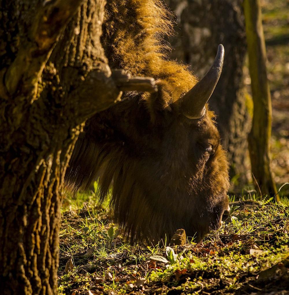 Europæisk bison græsser i skoven, Döberitzer Heide (foto: Rune Engelbreth Larsen)