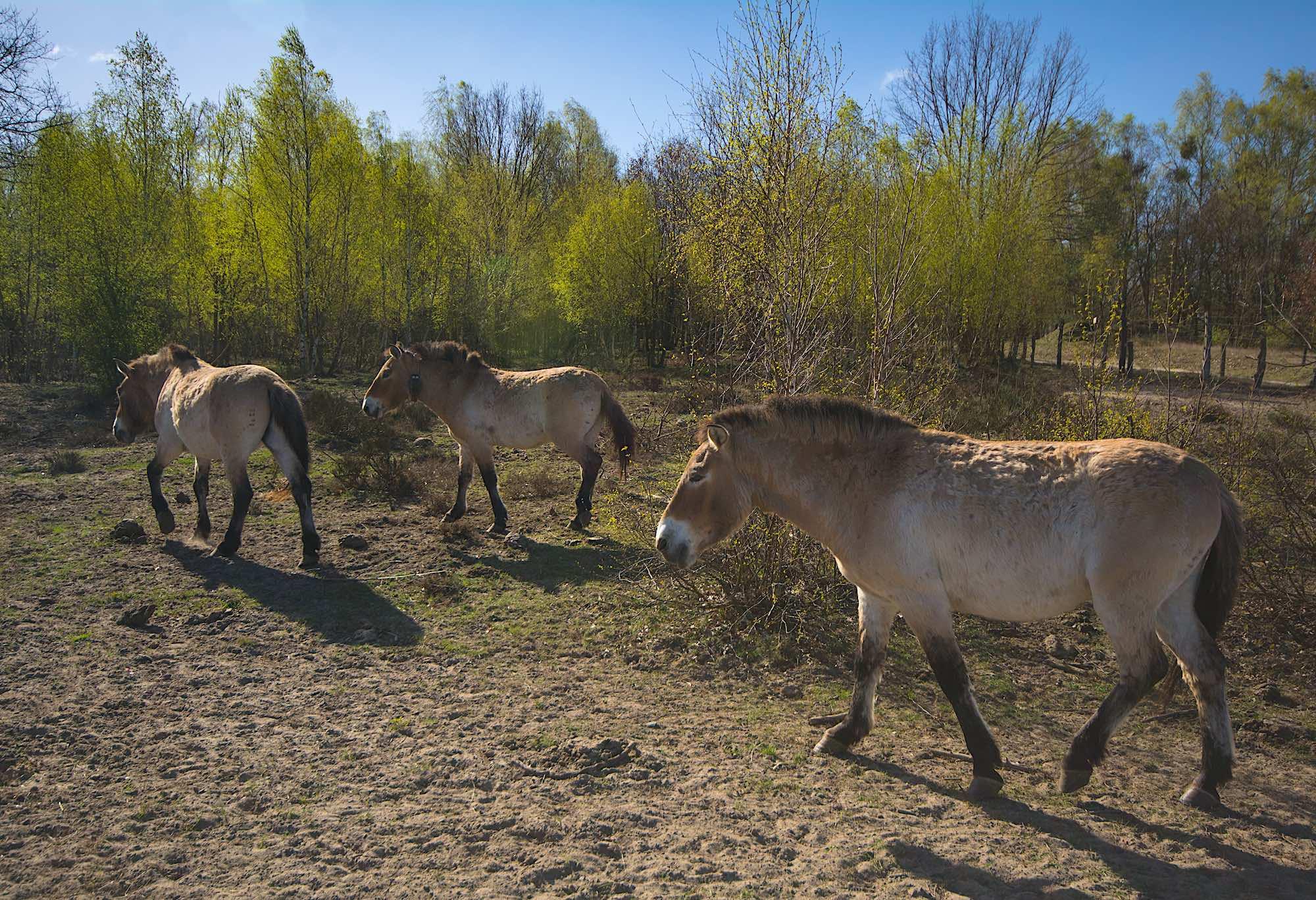 Przewalski-heste, Döberitzer Heide (foto: Rune Engelbreth Larsen)