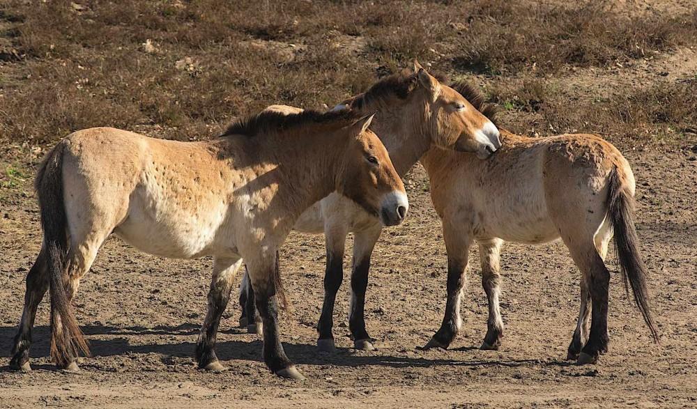 Przewalski-heste, verdens eneste oprindelige vildhest (foto: Rune Engelbreth Larsen)