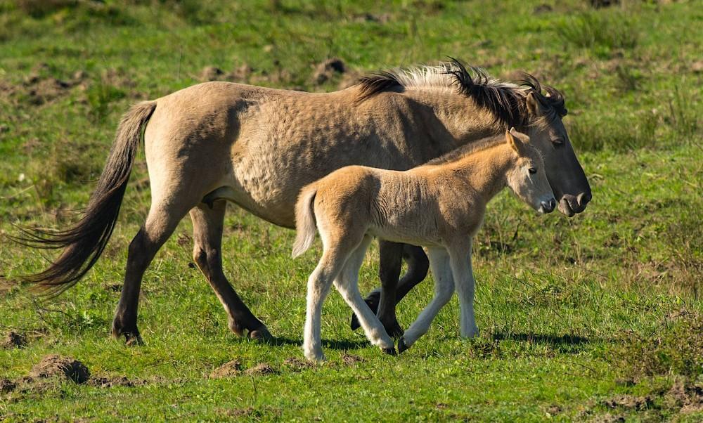Konik – mor og datter ... (foto: Rune Engelbreth Larsen)