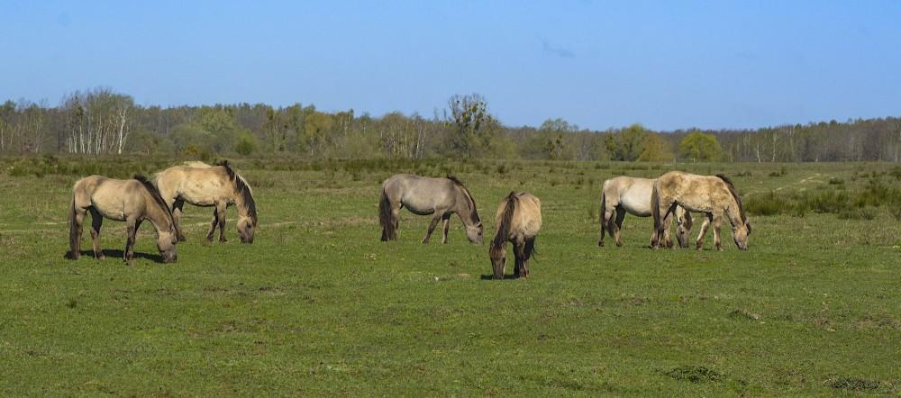 Uden for vildnis-kernezonen er der omkring 30 kvadratkilometer naturområde med mere traditionel naturpleje, men her går også vildheste – konik-heste (foto: Rune Engelbreth Larsen)