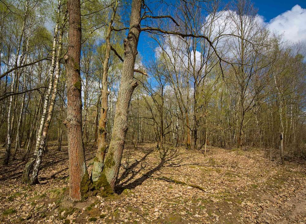 Ung blandingsskov på blot 50-80 år er det dominerende billede i Döbertizer Heides skoveområder (foto: Rune Engelbreth Larsen)