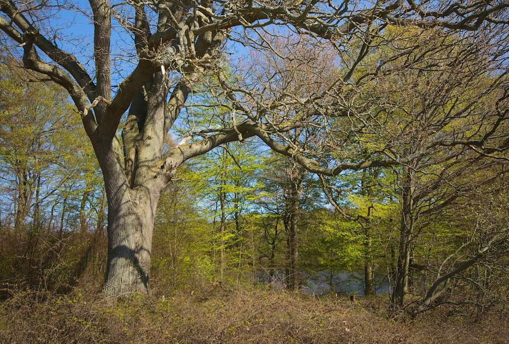 Et kommende eremittræ? En række gamle træer er udpeget som mulige levesteder for den stærkt truede bille eremit (foto: Rune Engelbreth Larsen)