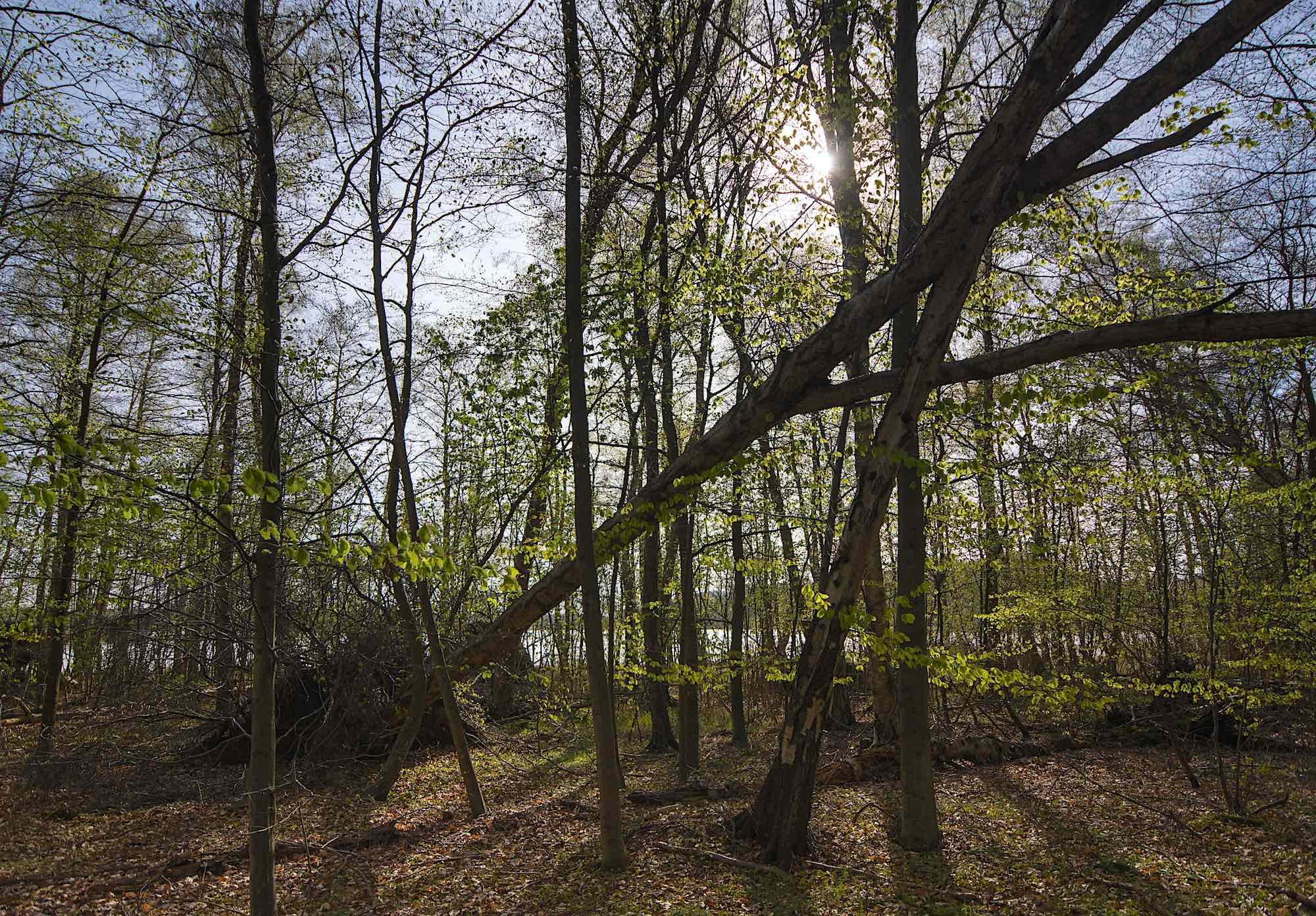 Langs det meste af bredden ved Gurre Sø får træerne lov til at undslippe hugst (foto: Rune Engelbreth Larsen)