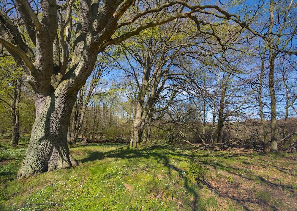 Gamle træer og dødt ved i Hellebæk Kohave (foto: Rune Engelbreth Larsen)