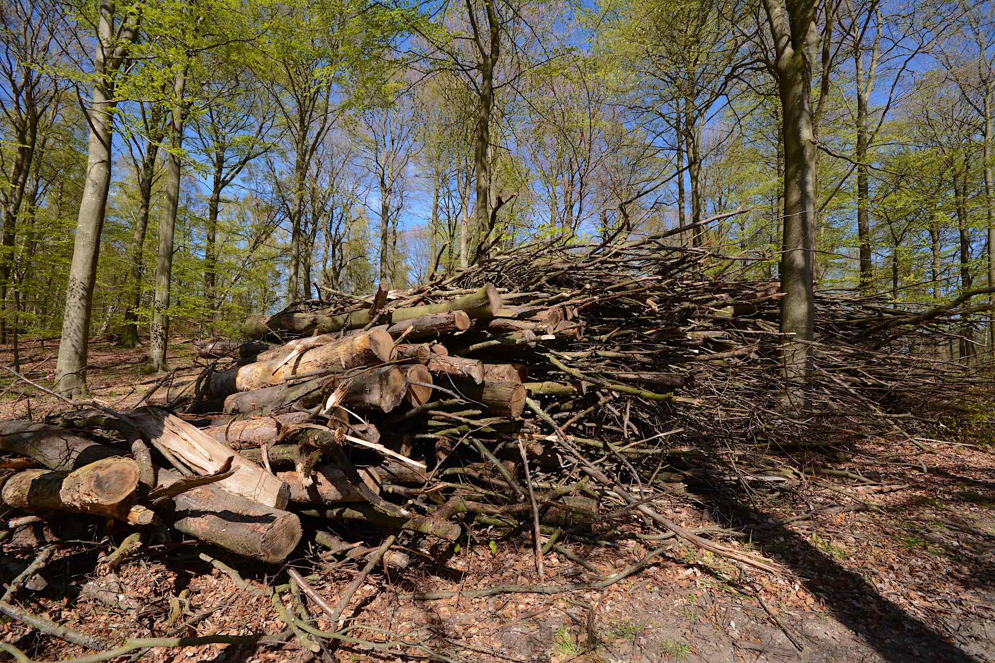 Et stenkast fra et lille frimærke med urørt skov nord for Bøgeholm Sø fældes stadig træer – her en stabel, der skal flises fra et skovområde, der trænger til mere dødt ved (foto: Rune Engelbreth Larsen)