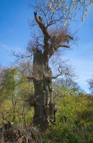 Nord for Bognæs Storskov er der kun fundet eremit i to træer i Nordsjælland, begge i Hellebæk-Hammermølle-området – her er det ene, nær Hellebæk Station (foto: Rune Engelbreth Larsen)