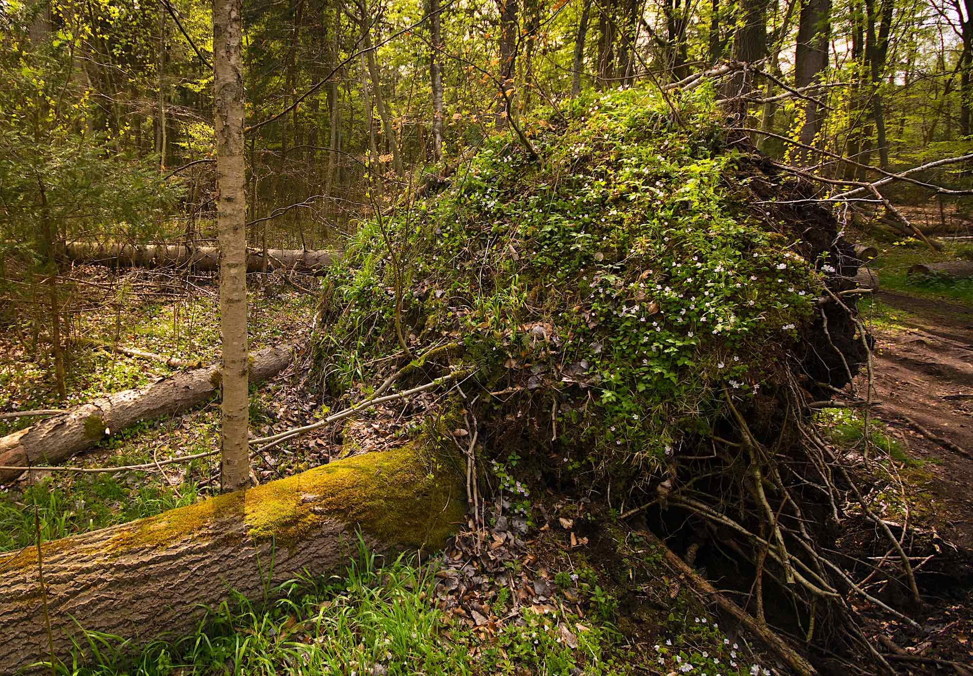 Rodkage – faldne træer skaber huller i jordlaget (foto: Rune Engelbreth Larsen)