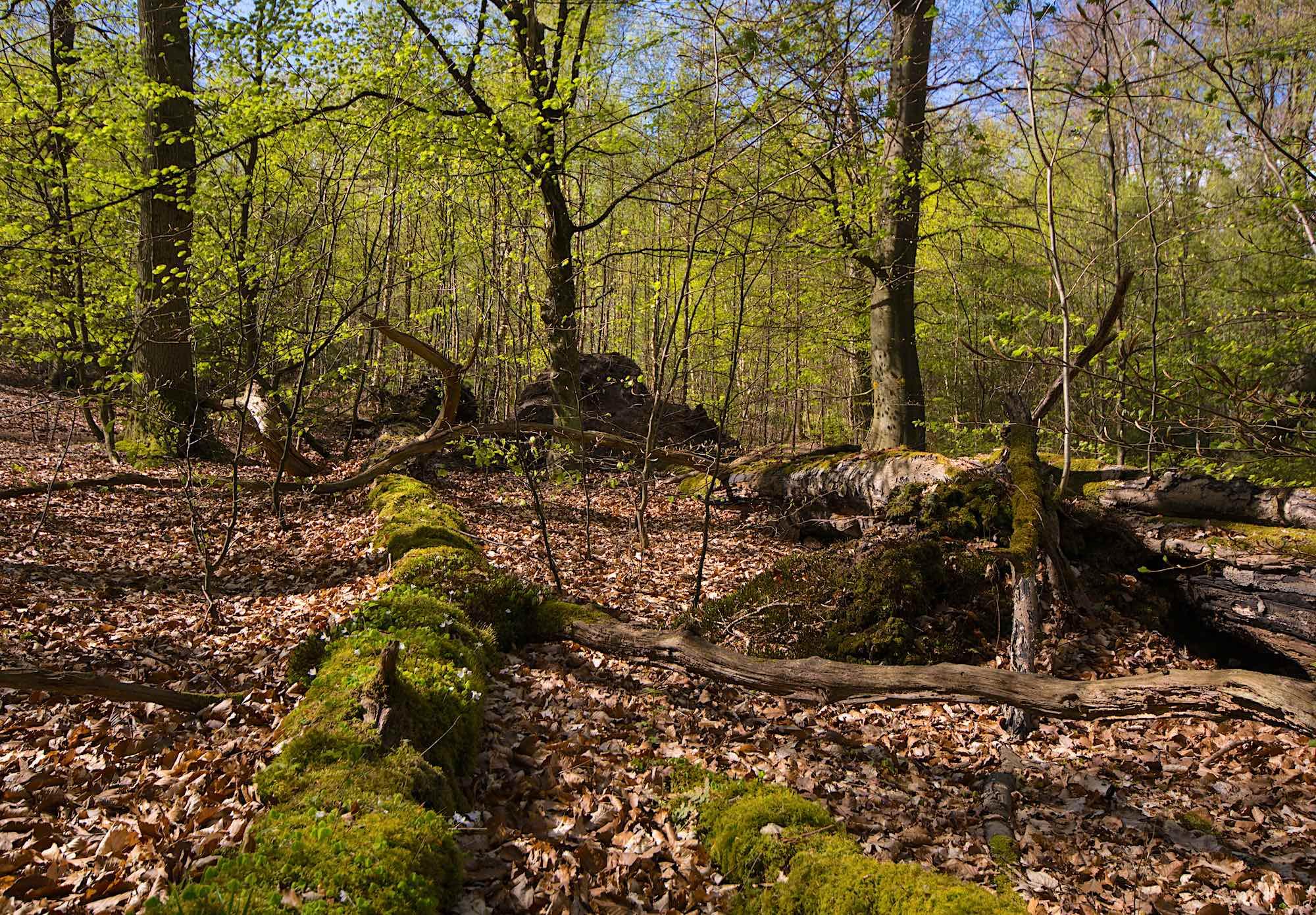 Urørt skov ved Gurre Sø (foto: Rune Engelbreth Larsen)