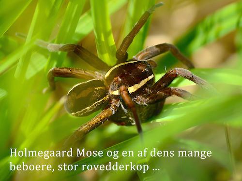 Holmegaard Mose og en af dens mange beboere, stor rovedderkop ...