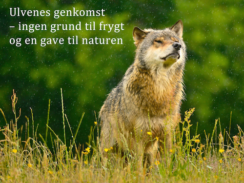 Ulvens genkomst – ingen grund til frygt og en gave til naturen ...