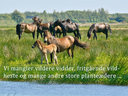 Vi mangler vildere vidder, flere fritgående vilde heste og mange andre store plantædere ...