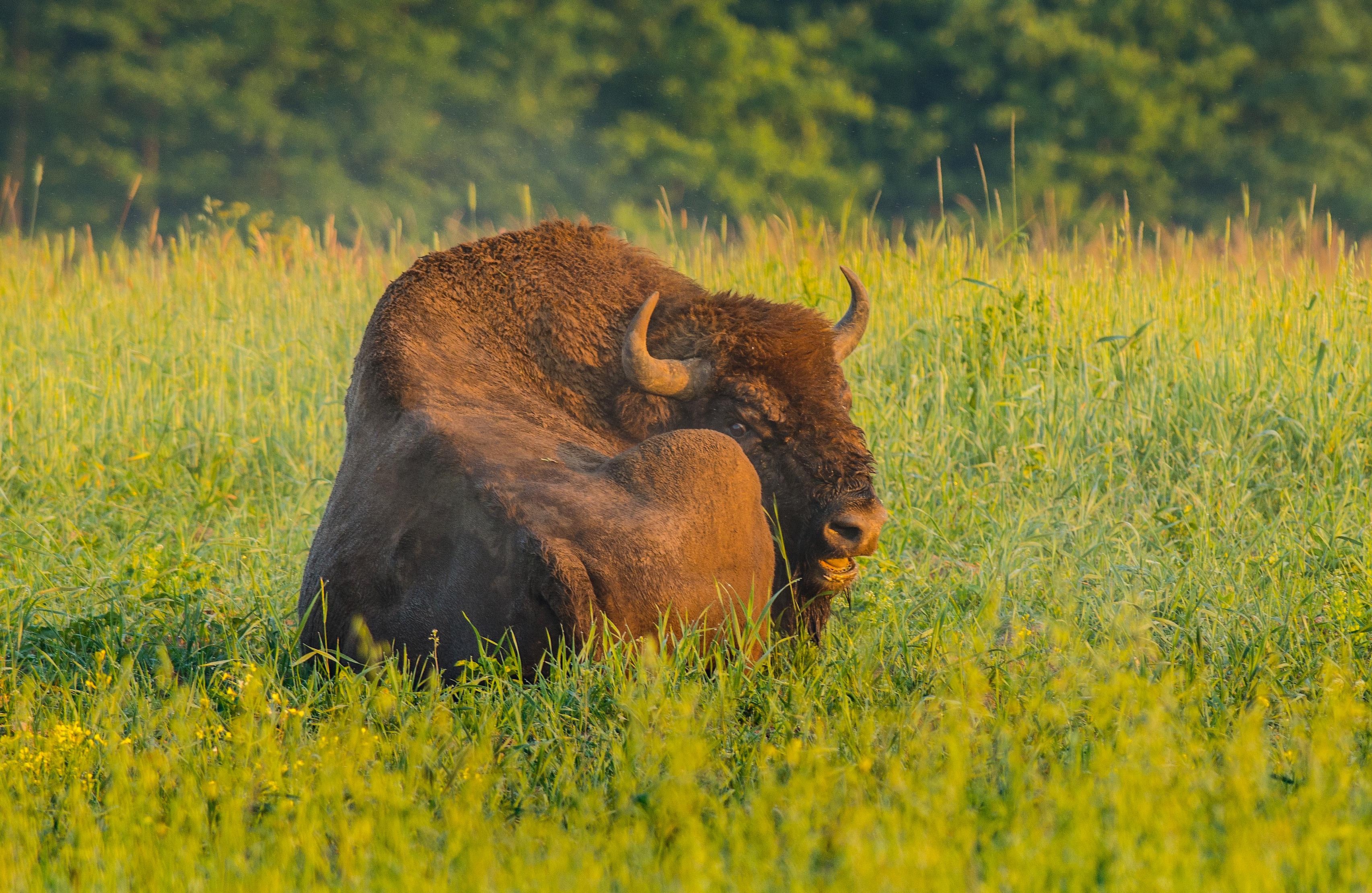 Pressemateriale (foto til omtale, anmeldelse). Europæisk bison (fotograferet af Rune Engelbreth Larsen)