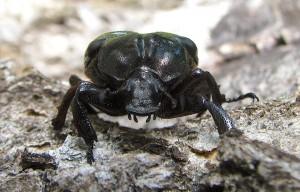 Bæstet set forfra – eremit, en meget sjælden bille i Danmark (Foto: Magnefl, Wikipedia)