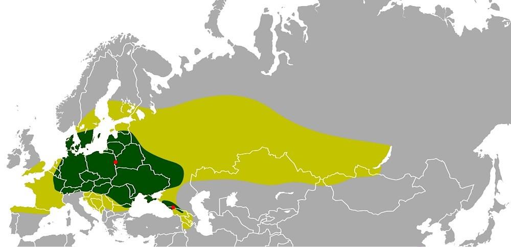Historisk udbredelse af europæisk bison. Det lysegrønne område markerer udbredelsen efter sidste istid for små 12.000 år siden, og det mørkegrønne område en omtrentlig udbredelse frem til højmiddelalderen (i Danmark er det sidste knoglefund, der blev fundet i Bøgesø Mose, dog fra omkr. år 500). De røde pletter viser, hvor de sidste bestande levede frit i begyndelsen af det 20. århundrede: Bialowiezaskoven og Kaukasus. Arten blev næsten udryddet i begyndelsen af århundredet, men blev reddet af et omhyggeligt avlsarbejde med udgangspunkt i de sidste 54 individer fra zoologiske haver. Ved begyndelsen af det 21. århundrede nærmer den samlede bestand sig 5.000. Halvdelen lever i Polen, Hviderusland og Rusland, resten i Ukraine, Rumænien, Frankrig, Litauen, Tyskland, Holland, Slovakiet – og Danmark. (Kort: Wikipedia).