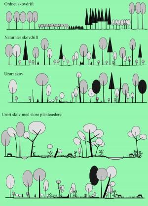 Urørt skov (nederste tre profiler) er meget anderledes end produktionsskove, der dyrkes for tømmer (de to øverste profiler). I dyrkede skove holdes et tæt kronedække, hvor kun de sunde og ranke træer udnytter lyset. En urørt skov udvikler en varieret struktur, hvor stående træ- er med skader, huller og dødt ved samt jævnlige sammenbrud giver vekslende kronedække (tredje profil). Fravær af tømmerproduktion muliggør også, at man genskaber den naturlige hydrologi og tillader større hjorte- og dyrebestande, der gør skoven sammensat og artsrig (© Karsten Thomsen)