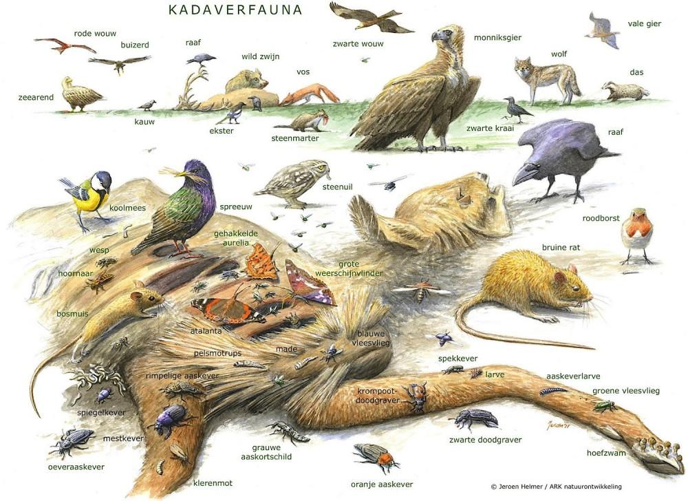 Kadaverfauna. Død er et grundlag for liv for mange arter (Jeroen Helmer / ARK natuurontwikkeling).