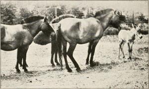 Den eneste hest, der ikke nedstammer fra domesticerede heste, og derfor verdens eneste oprindelige vildhest, przewalski-hesten. Den uddøde i naturen i 1960'erne, men et avslprogram baseret på en håndfuld heste i zoologiske haver har bl.a. muliggjort en succesfuld genudsættelse i Mongoliet. Fotograferet i 1920 (foto: E. R. Sanborn; kilde: Wikipedia).