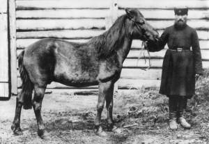 Den eurpæiske vildhest, tarpan, fotograferet i Moskvas zoologiske have i 1884 – halen er blevet klippet (foto: Wikipedia). Den sidste tarpan døde i fangenskab formodentlig i 1909.