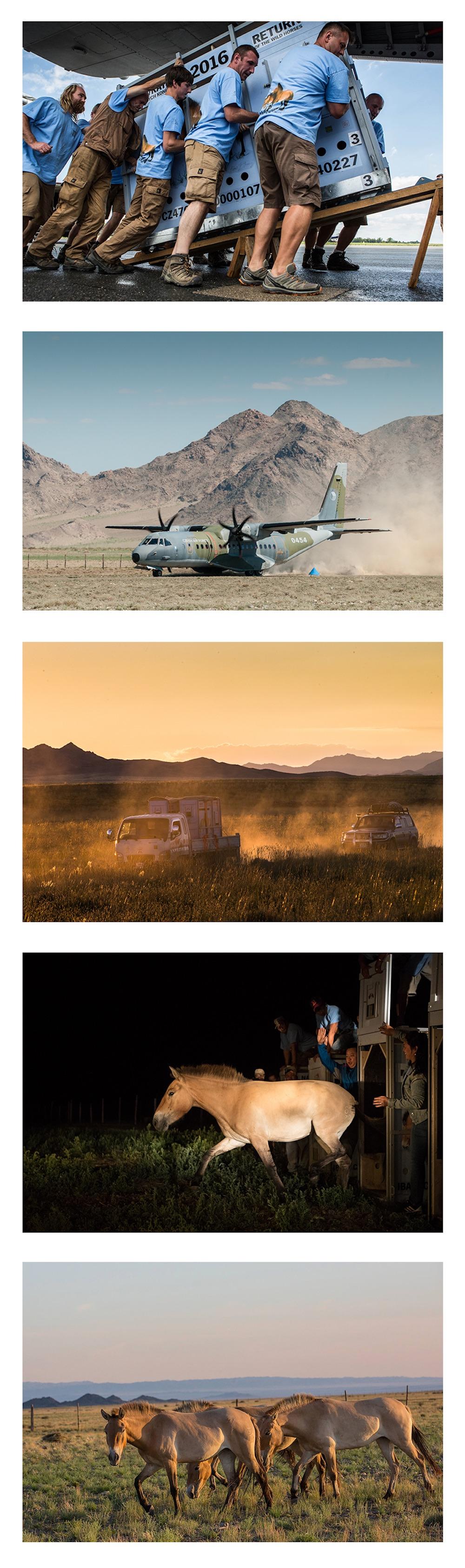 I slutningen af 1960'erne var verdens eneste oprindelige vildhest, przewalski-hesten (eller som den hedder i Mongoliet: takhi) næsten udryddet, men et minutiøst avlsprogrammet har reddet den. I dag udsættes den flere steder i verden, f.eks. i Döberitzer Heide, og som bestanden vokser, genudsættes fra tid til anden vildhesten atter i Mongoliet, hvor dens sidste levested var. Her er det takhier fra Döberitzer Heides bestand, der transporteres til Mongoliet og først udsættes i en tilvænningszone – hvorefter de slippes løs i det fri ... (foto © Prager Zoo og Hans Sielmann Stiftung).