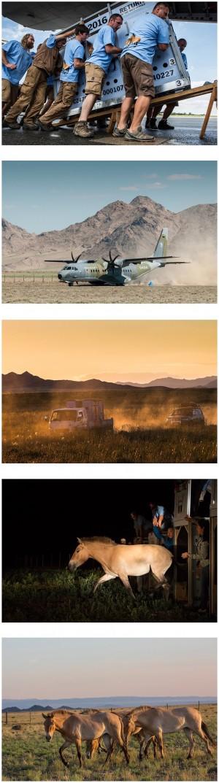 Vildheste fra Mongoliet er udsat forskellige steder i verden, bl.a. i Döberitzer Heide, hvorfra den voksende bestand så kan levere vildheste tilbage til den vilde natur i Mongoliet ... (foto © Prag Zoo)