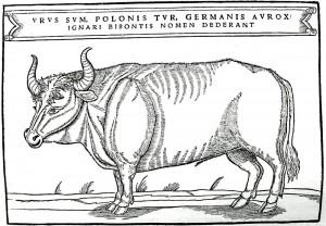Ilustration af urokse fra en bog af Sigismund von Herberstein, der udkom i 1556 (uroksen uddøde i 1627). Billedtekst: »Jeg er 'urus', tur på polsk, aurox på tysk. Ignoranter har navngivet mig bison.« (Wikipedia)